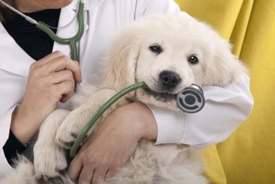 抱っこをされて聴診器をくわえている犬