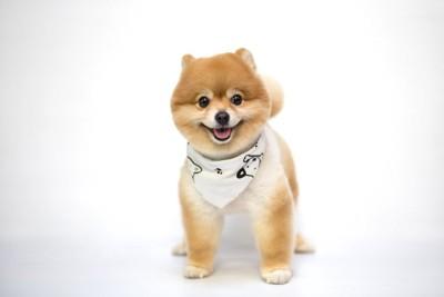 犬柄のバンダナを巻いた短毛のポメラニアン