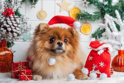 クリスマスの飾りとポメラニアン