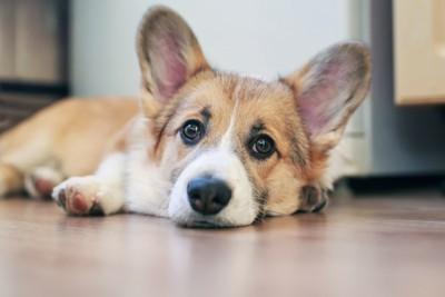 床で伏せをする犬