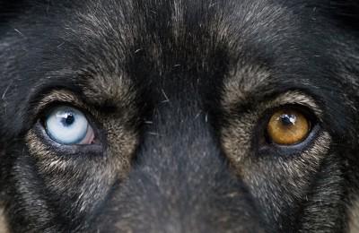 オッドアイの犬の目アップ