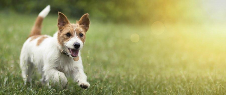 楽しそうに芝生を走る犬