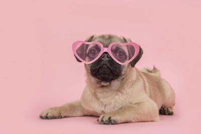 ピンク色のサングラスをしたパグ