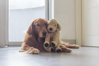 犬のぬいぐるみに顔を寄せるゴールデンレトリバー