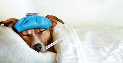 体温計を咥えて氷嚢を頭に乗せている犬