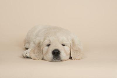 伏せて眠るゴールデンレトリバーの幼犬