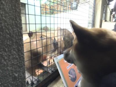 カピバラと犬の対面