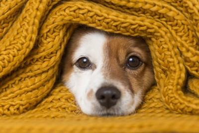 ニットに包まって顔を出す犬