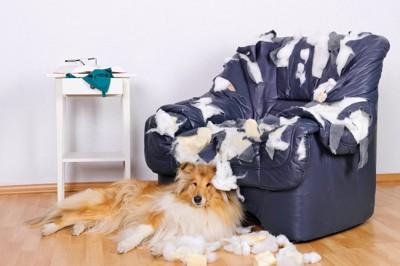 ボロボロのソファーの前でくつろぐ犬