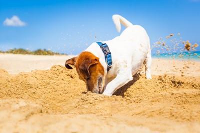 綺麗な海のビーチで穴を掘る犬