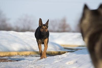 対立して立つ2匹の大型犬