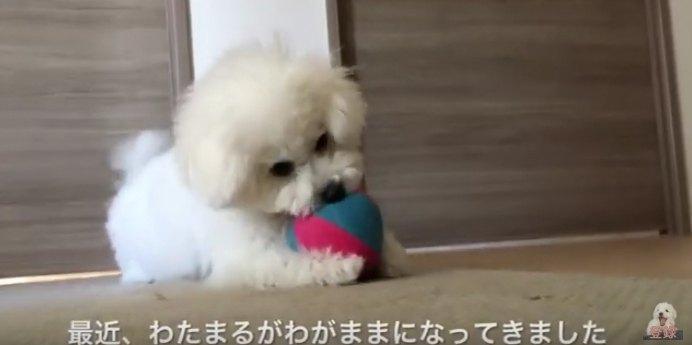 ボールを噛むわたまるくん
