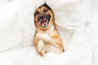 真っ白なベッドの上ではしゃぐ犬