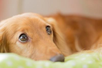 犬用ベッドでくつろぐダックス