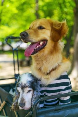 カートに乗る老犬とゴールデン