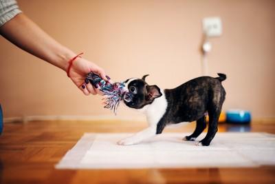 飼い主とおもちゃを引っ張り合っている犬