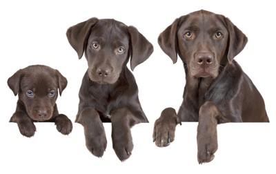 子犬から成犬の並んだ犬
