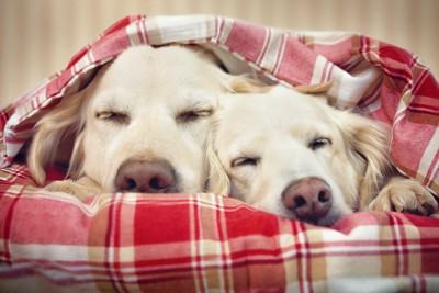 寄り添って眠る二匹のゴールデンレトリーバー