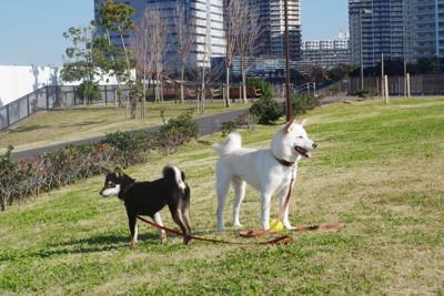 白と黒の柴犬