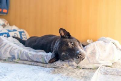 寝床に横たわる黒い老犬