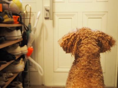 飼い主の帰りを待つトイプードル