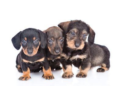 スムース、ロング、ワイヤーのミニチュアダックスの子犬