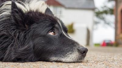 顎を床につけて休んでいる犬