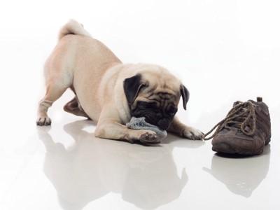 靴とパグの子犬