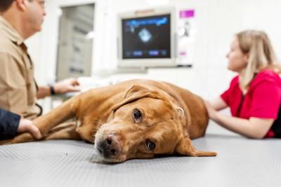診察台で横たわる犬
