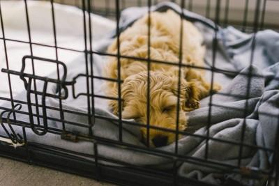 ケージで眠る子犬