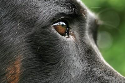 黒い犬の目アップ