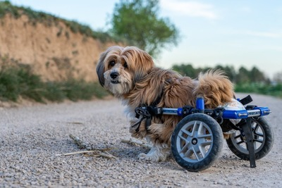 車いすの補助具をつけた犬