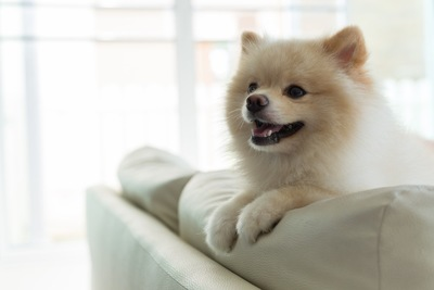 ソファーから身を乗り出す犬