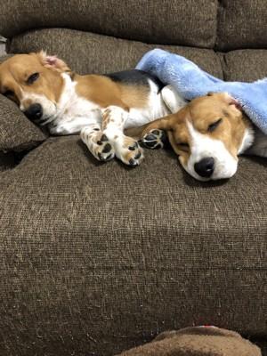 同じ姿勢で寝る犬2匹