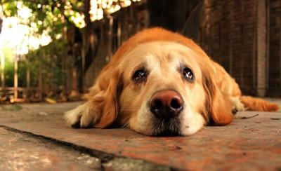 悲しそうな顔で地面に伏せる犬