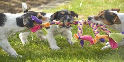 おもちゃを奪い合う3頭の犬