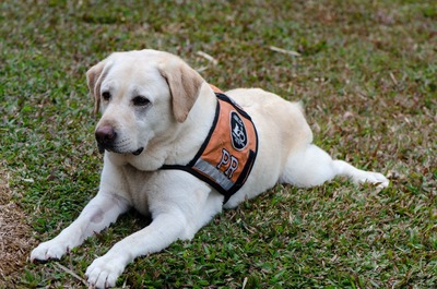 盲導犬のゴールデンレトリバー