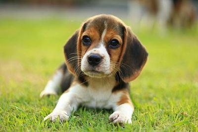 芝生で伏せるビーグルの幼犬