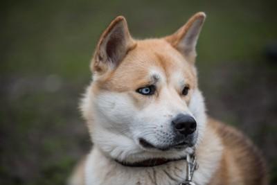 青い目の秋田犬