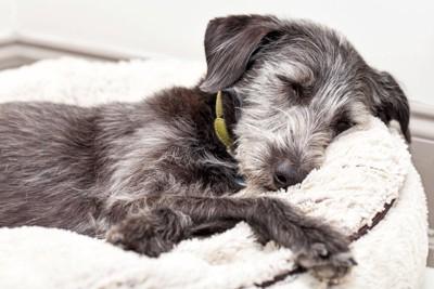寝ているグレーの犬