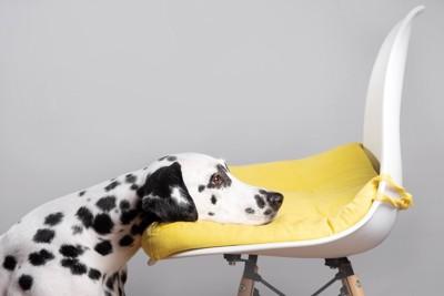 椅子にアゴを乗せるダルメシアン