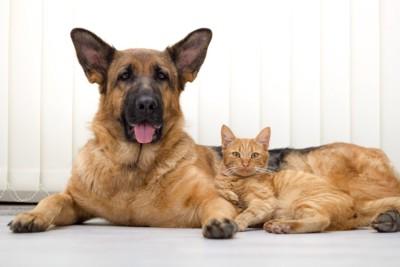 ジャーマンシェパードと犬