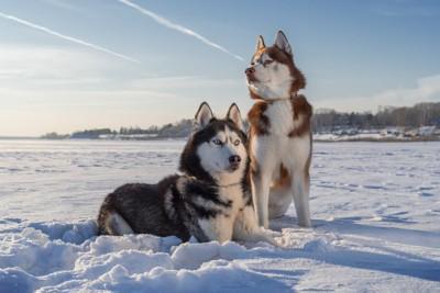 雪の上の2匹のハスキー