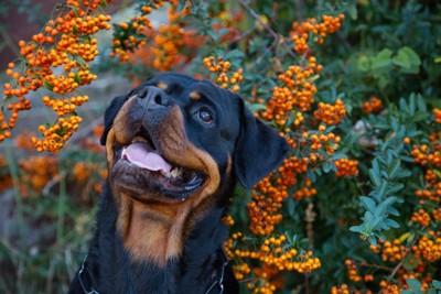 オレンジ色の実を見上げる犬