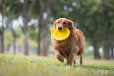 フリスビーをくわえて走るゴールデンレトリバー
