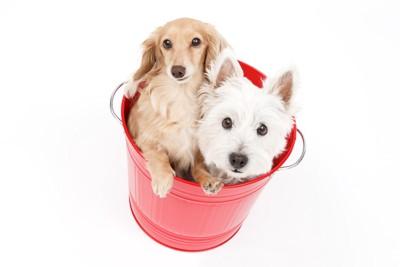 バケツに入った二匹の犬