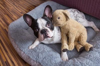 ベッドにテディベアと一緒にいるフレンチブルドッグ