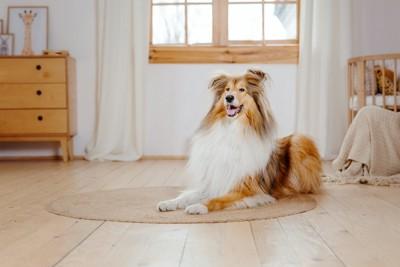 リビングの床に伏せるコリー犬
