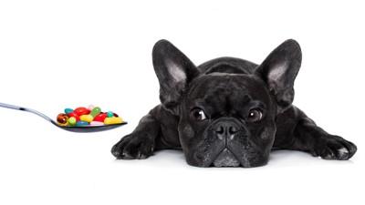 スプーンの薬を見つめる犬
