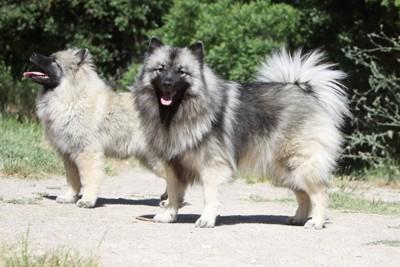スピッツ系の2匹の犬